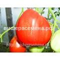 Кунео гигантская груша (Cuneo Giant Pear)